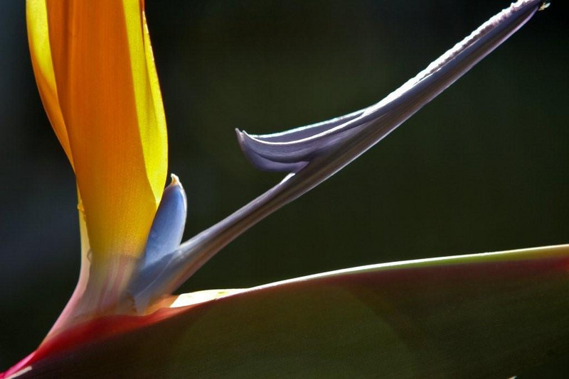 Bird of Paradise<br /> <br /> By Anna Jison