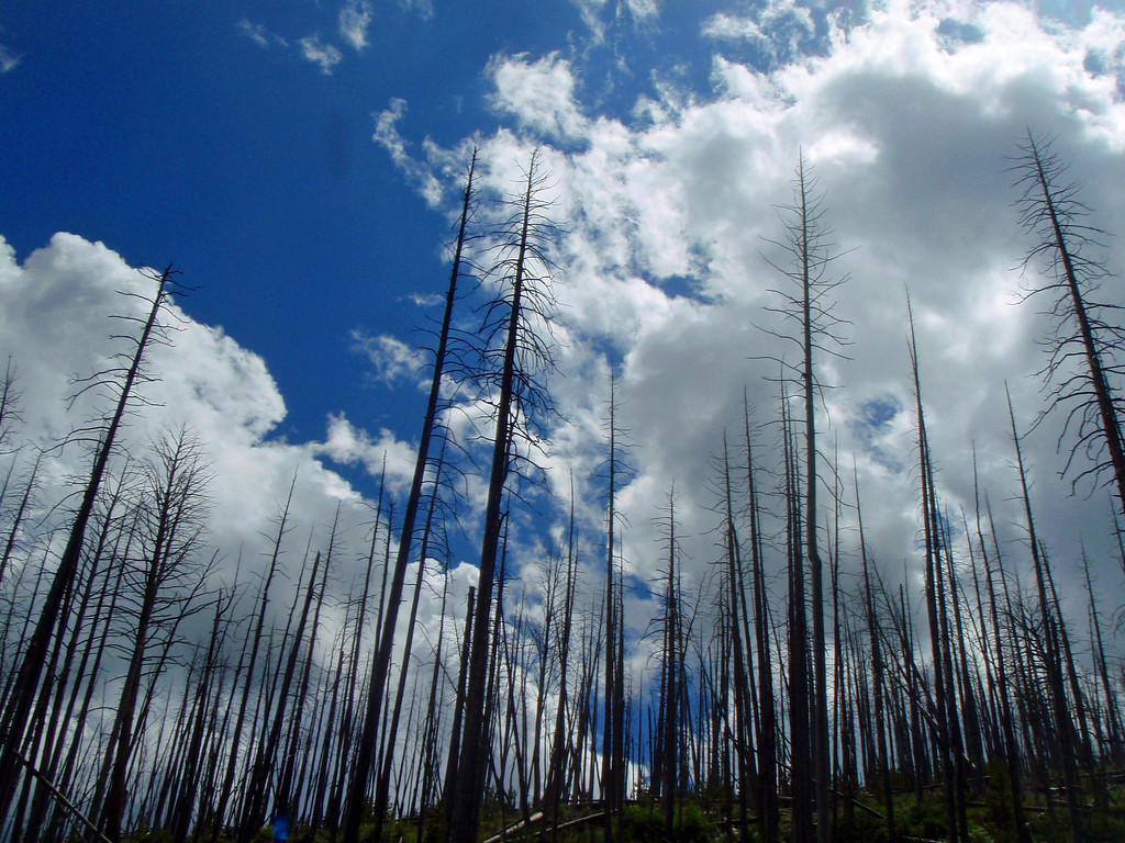 Natures Blues<br /> By Karen Conroy<br /> <br /> Note: Yellowstone National Park.  Remnants of burnt trees against the blue sky.