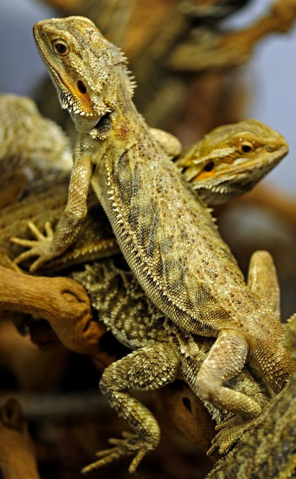 Herpetophobia<br /> By Susan Brown Matsumoto<br /> <br /> Pronunciation: \ˌhər-pət-ə-ˈfō-bē-ə\<br /> Function: noun<br /> A morbid fear of reptiles, amphibians and similar creeping animals.