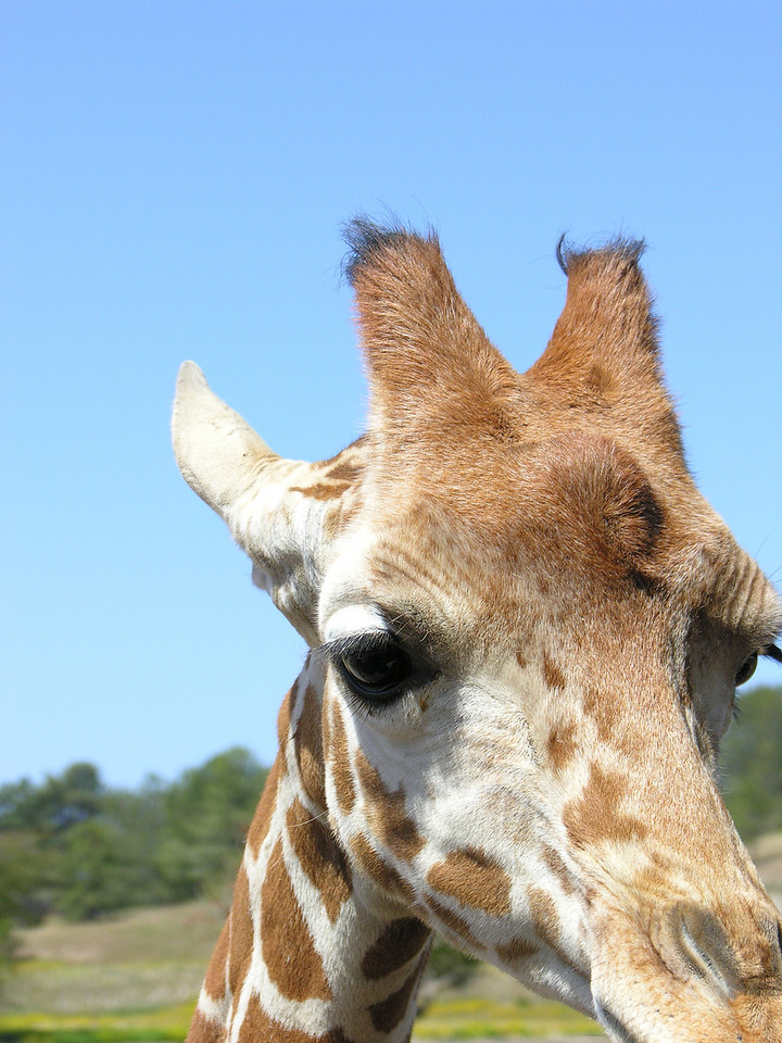 Giraffe<br /> By Sara Kross<br /> <br /> Wild Animal Park in San Diego