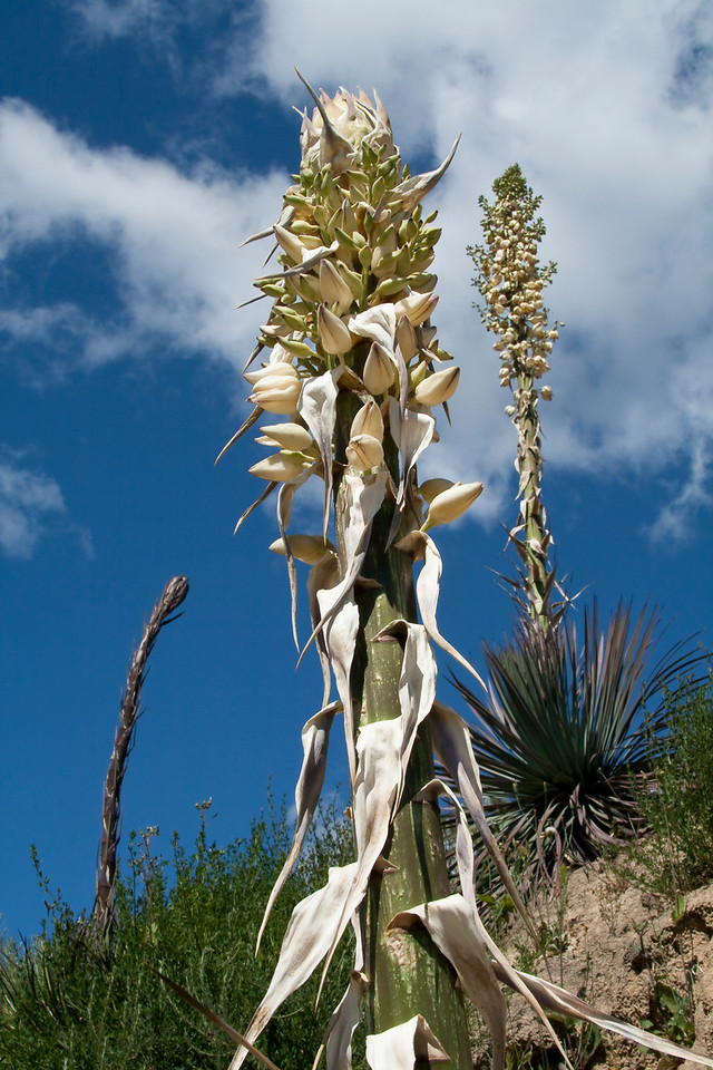 "Yucca Plants<br /> By Claudia Tammen<br /> <br /> Note: <br /> This image shows three Yucca plants in different stages of flowering. They are blooming all over Modjeska Canyon right now. Also called ""Lord's Candle"", they are beautiful, regal and fragrant."