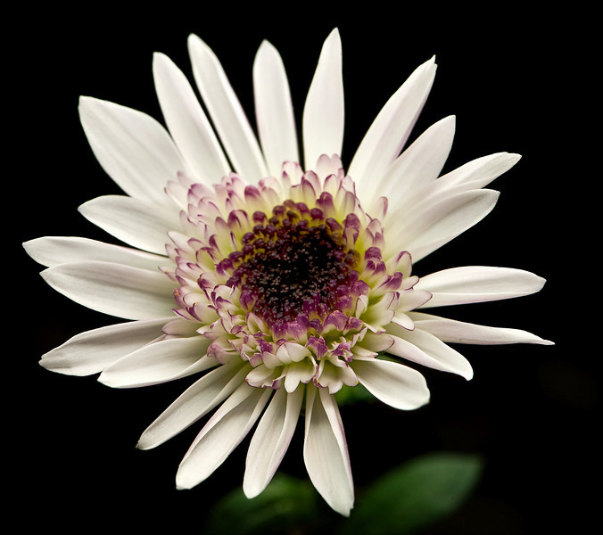 Just a Daisy<br /> By Daniel Pham
