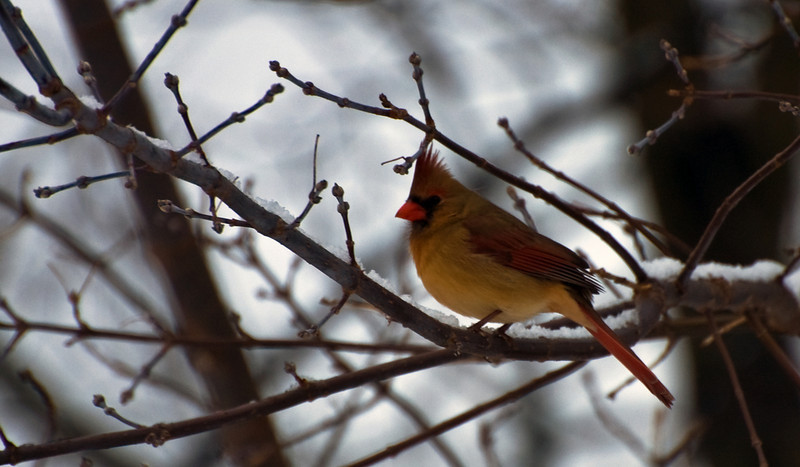 Female Cardinal <br /> By Cindy Tackaberry<br /> <br /> This photo was taken in Michigan in the early afternoon on an overcast day.