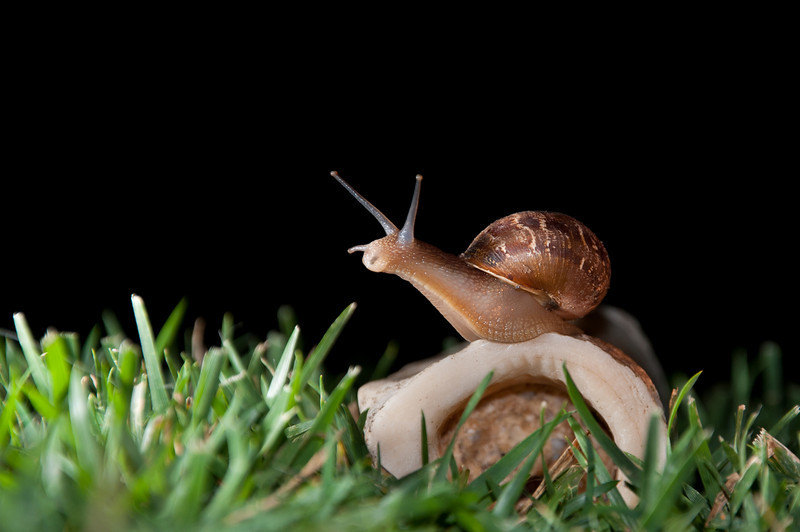 Living Low and Slow<br /> By Gilbert Portugal<br /> <br /> Note: The snail did a great job posing, so I let it live .......in my neighbors plants. <br /> Shot at night and lit with the on camera flash & an SB600 from the side.