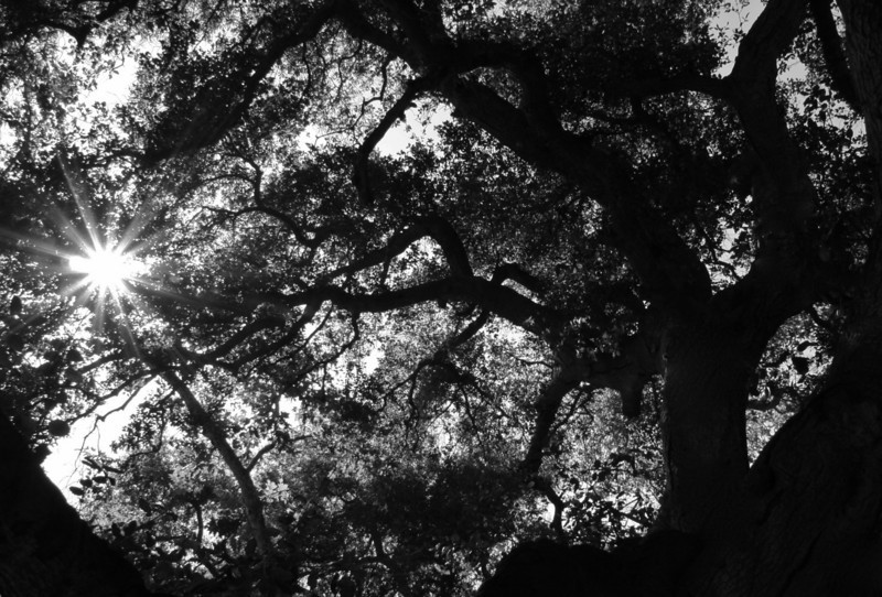 Oak Bower<br /> by Marina Coffee<br /> <br /> This huge, lovely oak is at O'Neill Park. Looking up, with the sun trying to squeeze through, was like being in a secret world.