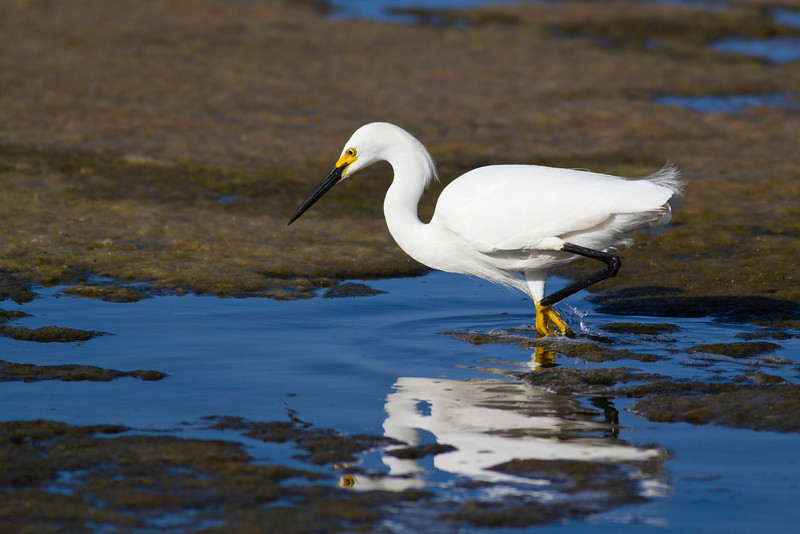 On the Hunt<br /> By Russell Cronberg<br /> <br /> Note: Taken at the Bolsa Chica Ecological Reserve in Huntington Beach.  The bird is a Snowy Egret and was intently hunting for small fish to pluck from the water.  I really love the light in this photo as well as how the bird's eye is reflected in the water.