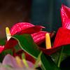 Anthereum Swirl<br /> By Karen Fogarty<br /> <br /> A brilliant red gem found at Sherman Gardens.