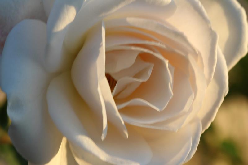 rose-bloom - f/11; 1/20; ISO 100; 100mm