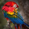 Scarlet Macaw colorful feathers