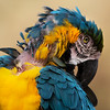 Blue yellow macaw with ruffled feathers grooming