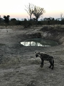 Hyena cub's mother is the light spot on the far end of the water hole.