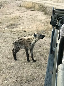 Curious hyena cub sniffed the land rover