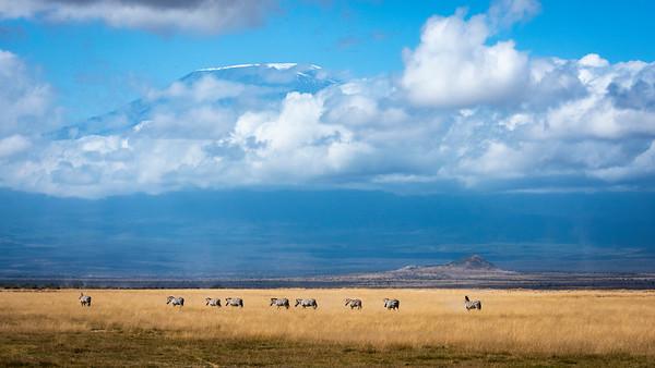Zebras under Kilimanjaro