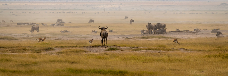 Single Wildebeest Gazes at his Herd