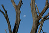 Moon in tree