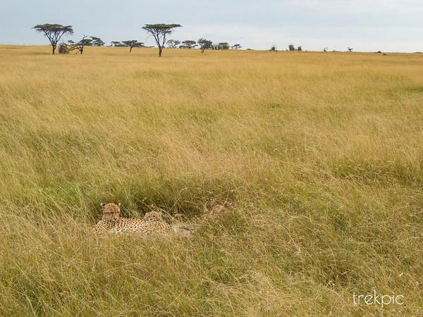 Cheetah Grassland
