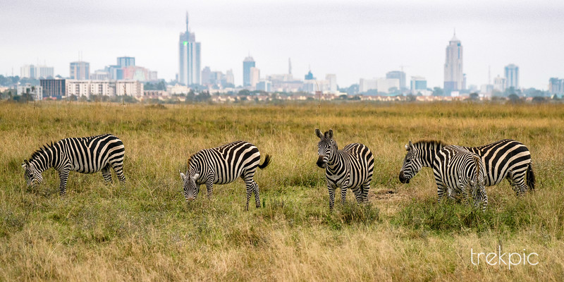 Zebra City