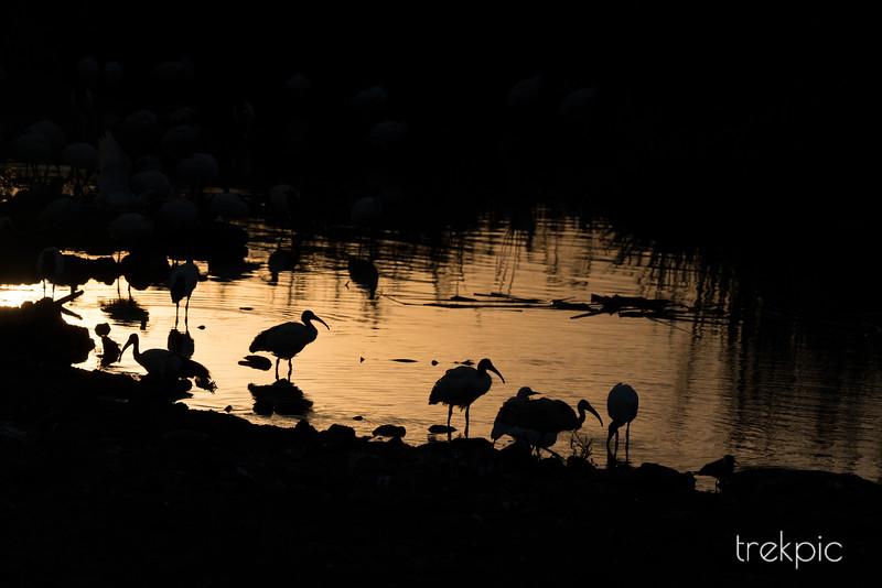 Sunset Ibis