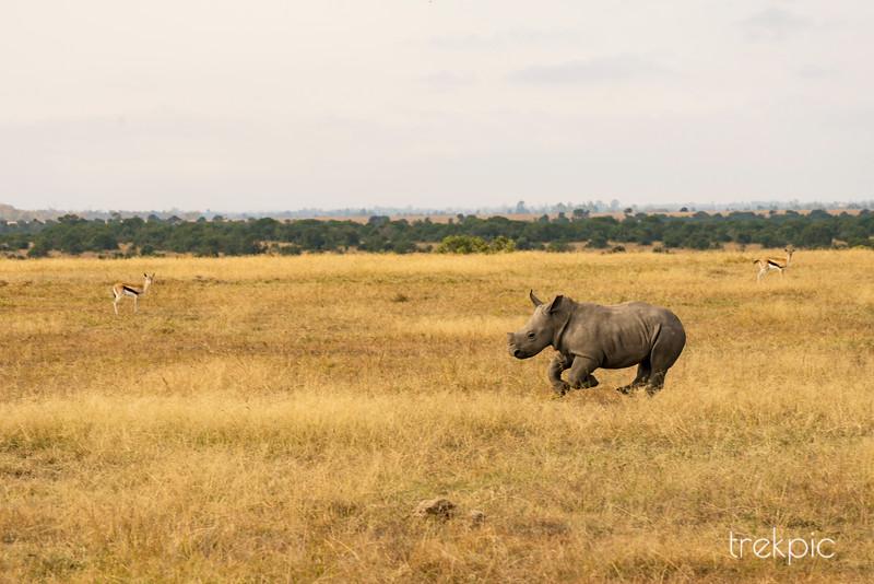 White Rhino | Ol Pejeta Conservancy