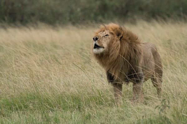 Afternoon Roar