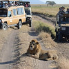 Lion and Safari Vehicles - Serengeti