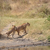 Lions playing - Serengeti