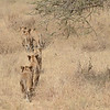 Lion cubs - Serengeti