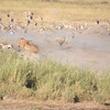 Female lion hunting - Serengeti