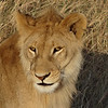 Young male lion - Serengeti