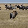 Muddy and bedraggled lion, wildebeests, and zebra - Ngorongoro