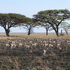Thomson gazelles - Serengeti