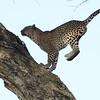 Jumping leopard - Serengeti