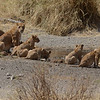 Lion cubs and mom - Serengeti