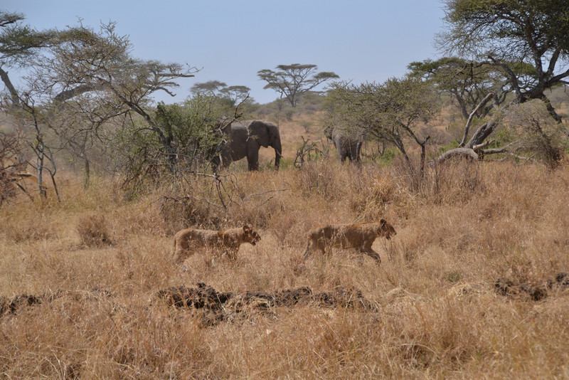 Lions and elephants - Serengeti