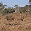 Lions and elephants - Serengeti