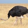 Male ostrich - Ngorongoro