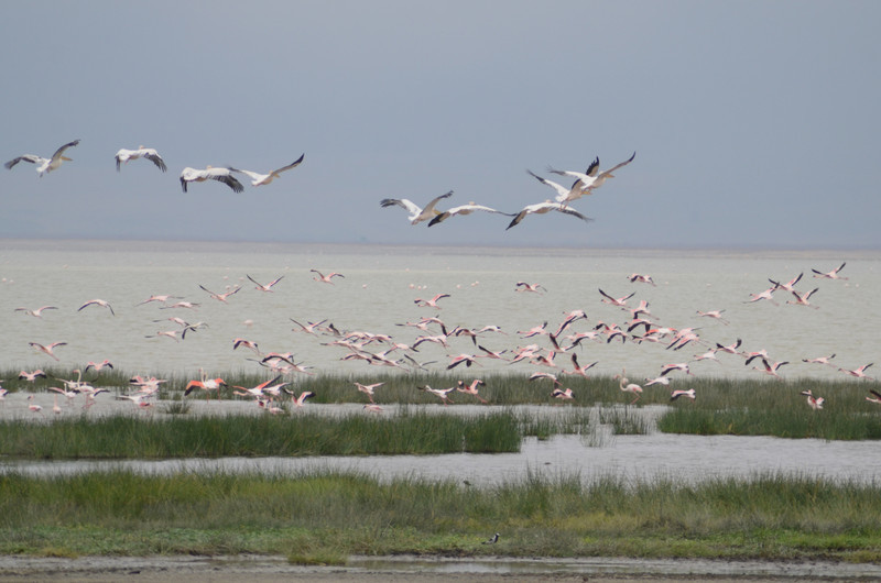 Flamingos and pelicans - Lake Magadi, Ngorongoro