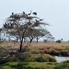 Big birds in tree - Serengeti
