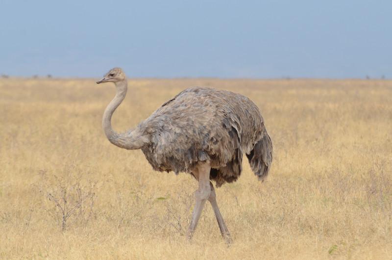 Female ostrich - Ngorongoro