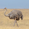 Female ostrich - Ngorongoro