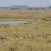 Flamingos and Thomson gazelles - another Lake Magadi, Serengeti