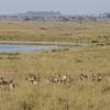 Flamingos and Thomson gazelles - another Lake Magadi, Serengeti