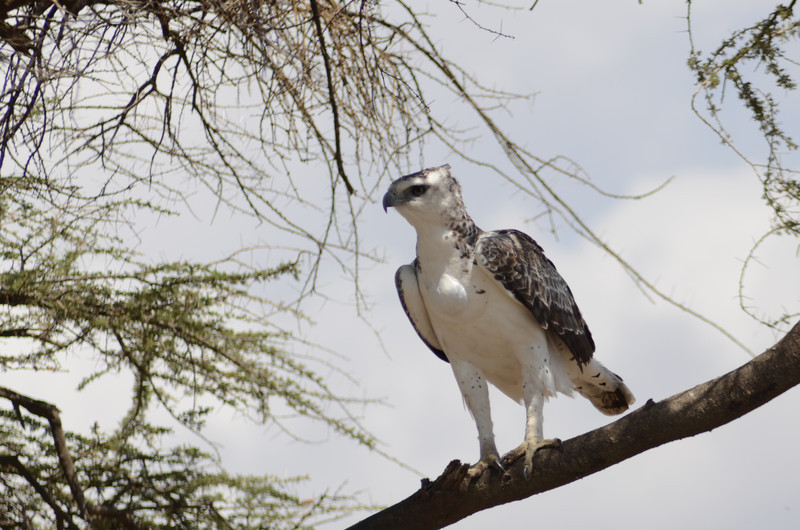 Martial eagle - Serengeti