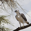 Martial eagle - Serengeti