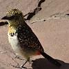 Speckled bird - Serengeti