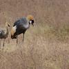 Grey crowned crane - Ngorongoro