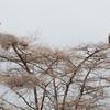 Big birds in tree - Tarangire