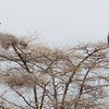 Big birds in tree - Tarangire
