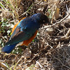 Hildebrandt's starling - Serengeti