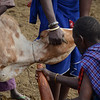Preparing for blood drinking ceremony - Maasai village - near Tarangire